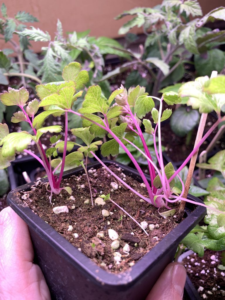 Chinese pink celery