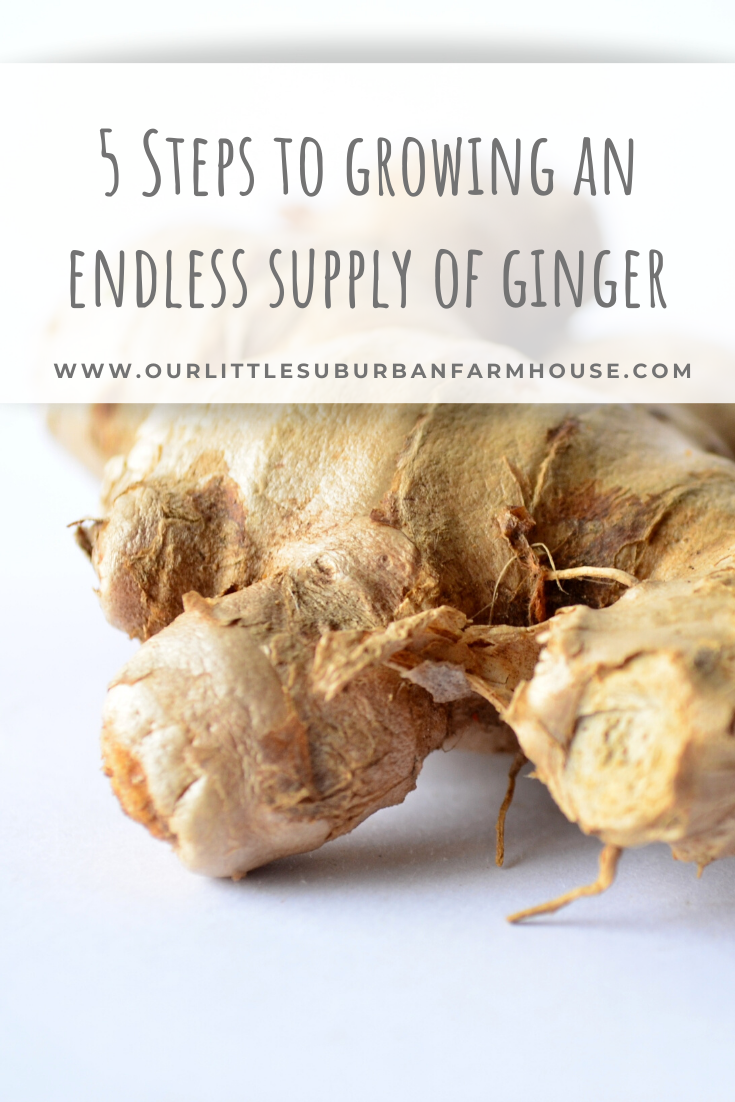5 Steps to growing an endless supply of ginger