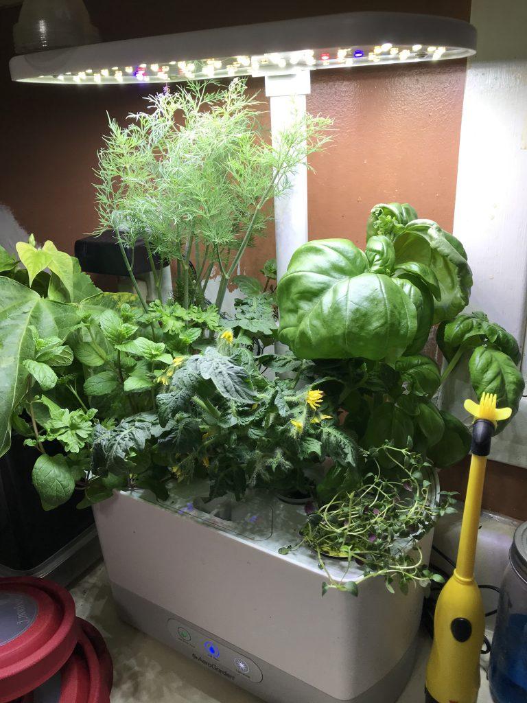 Growing basil hydroponically