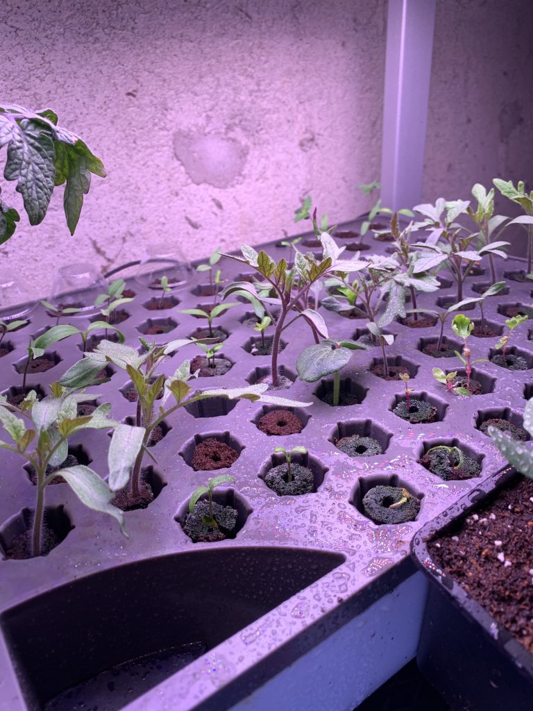 Aerogarden seedlings