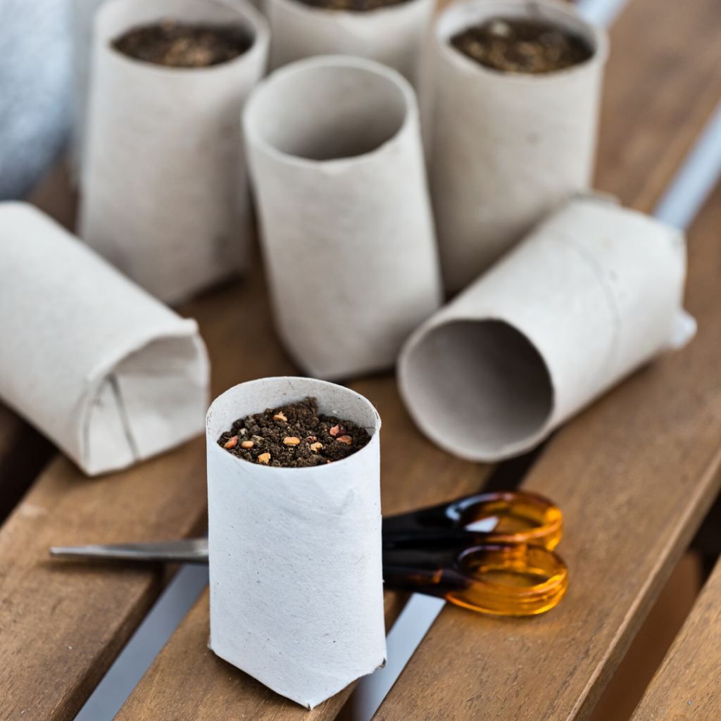 Seedings in toilet paper rolls