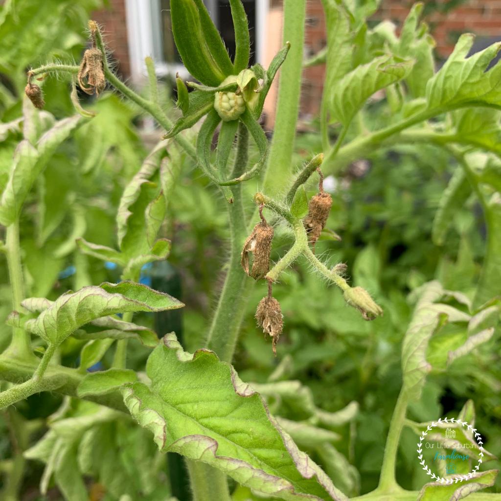 Tomato blossom drop
