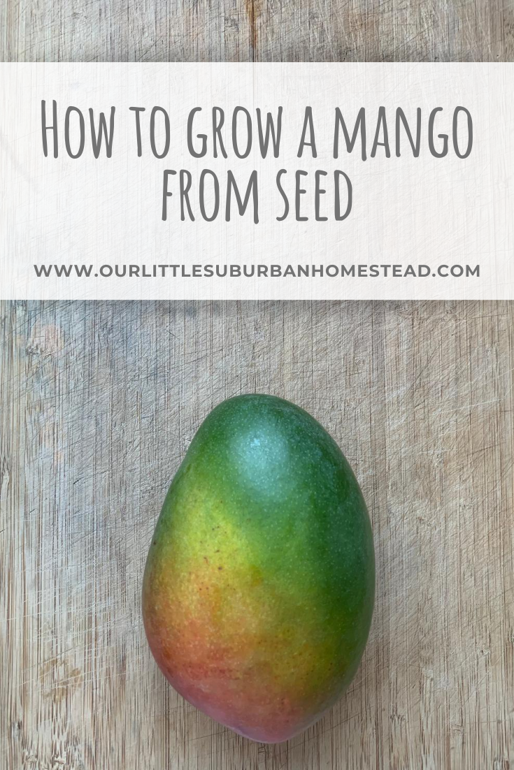 Growing a mango from seed