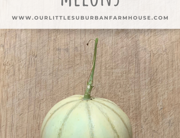 Growing Charentais Melons