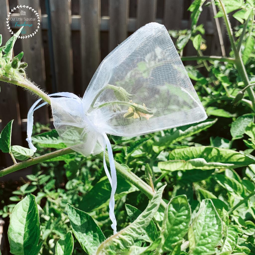 Blossom bag on tomato plant