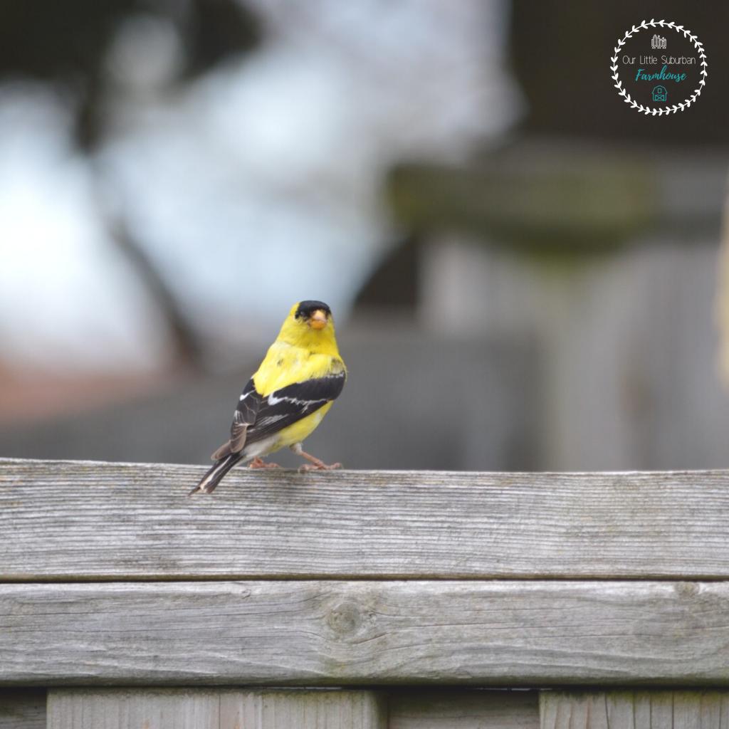 A little goldfinch in my backyard