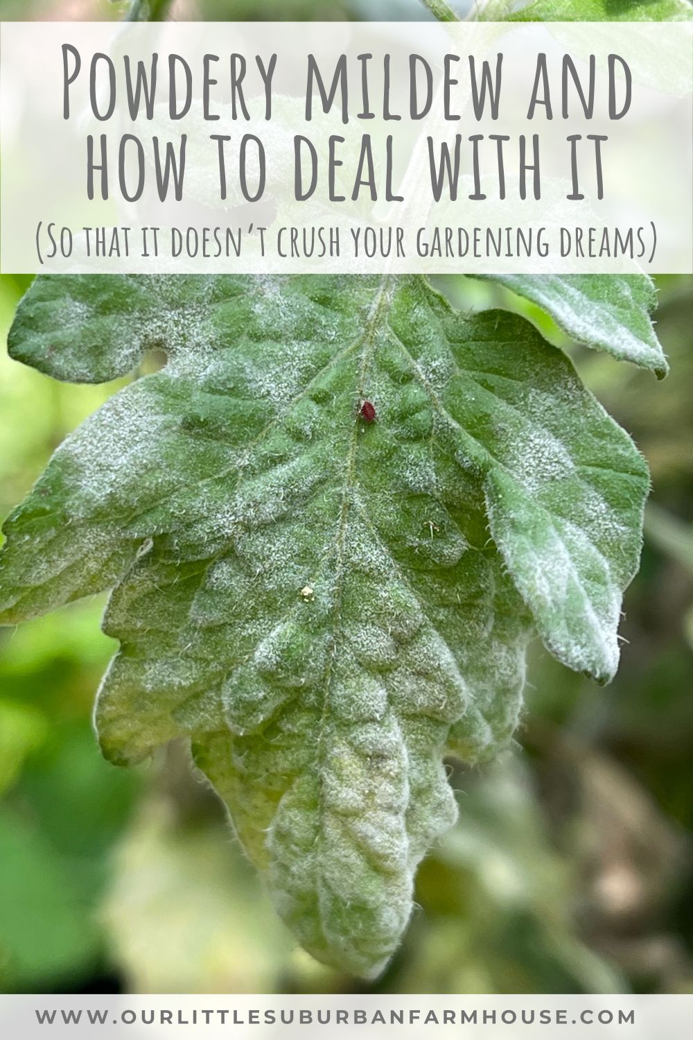 Powdery mildew and how to deal with it