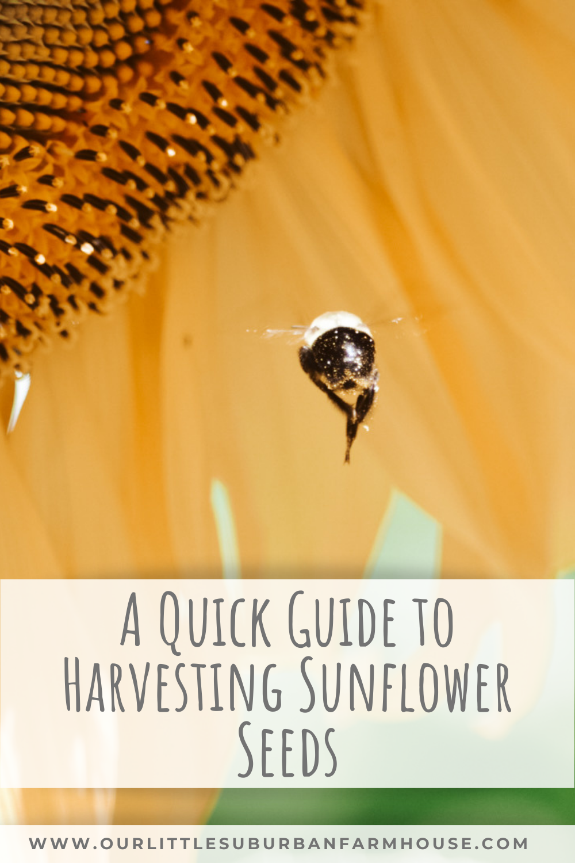 Harvesting sunflowers
